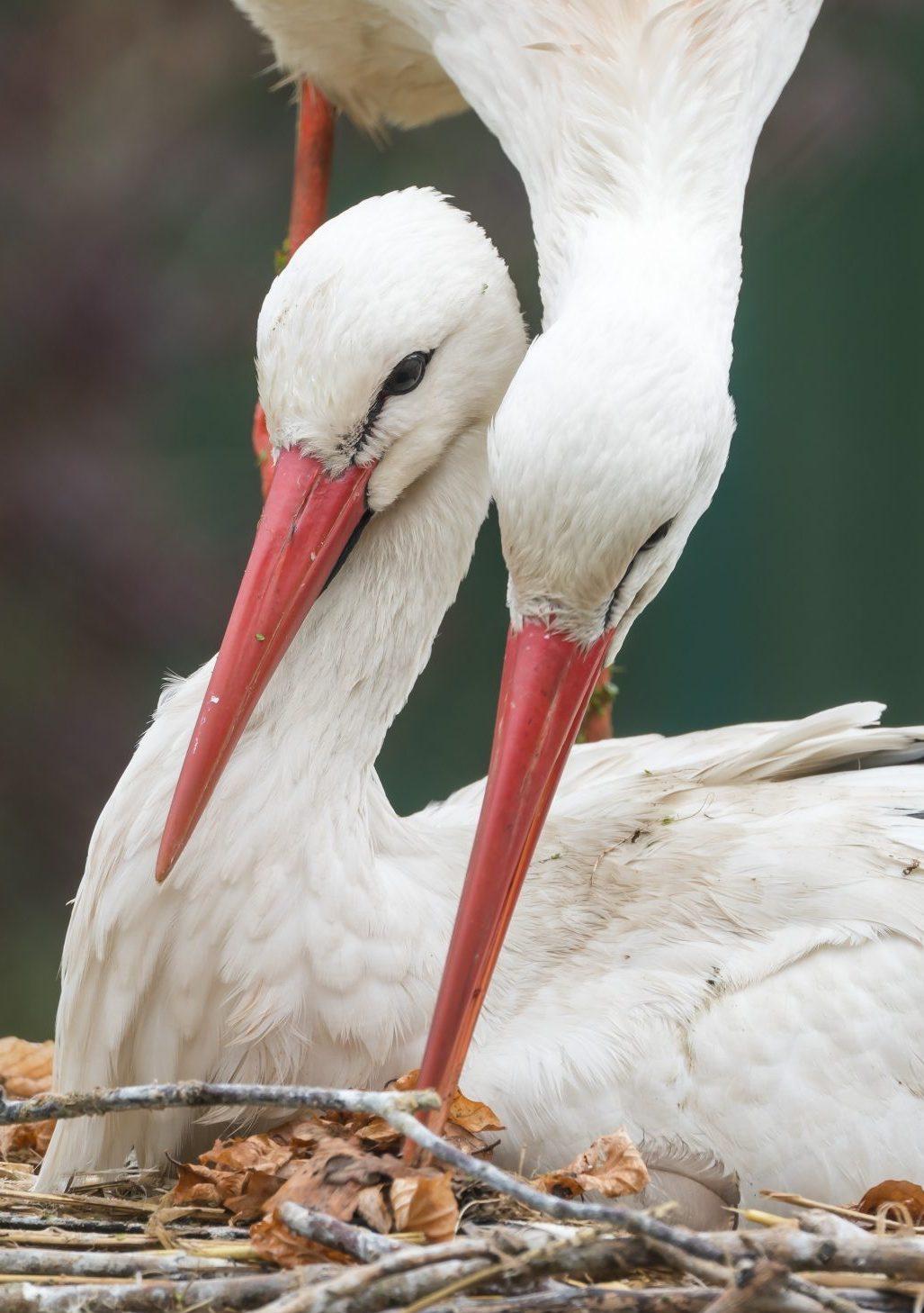 Zwei Störche im Nest, Klapperstörche